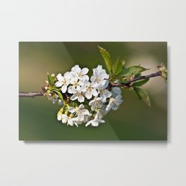 White Apple Blossoms Metal Print