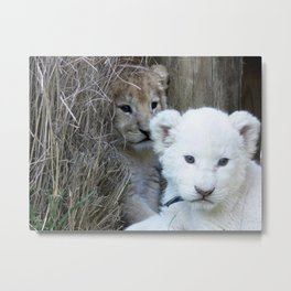 White and Gold Baby Lion Cubs! Metal Print