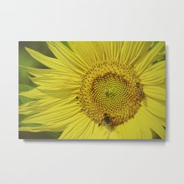 Close-up of a marvelous sunflower and bees - Beautiful Nature Metal Print