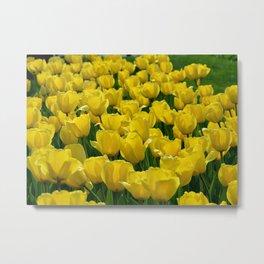 Field of Yellow Tulips Metal Print