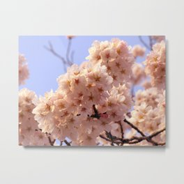 Pink Cherry Blossoms in Full Bloom and Sky Nature Photography Metal Print