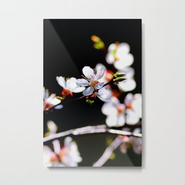 White Japanese Apricot Flowers Against The Black Background Metal Print