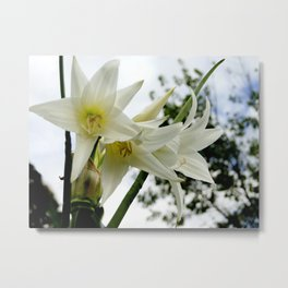Photo white amaryllis Metal Print