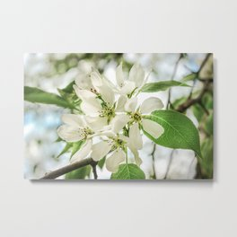 the Apple blossoms Metal Print