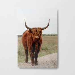 Highland Cow in nature   Scottish Highlanders, cattle in the Netherlands   Wild animals   Fine art travel and nature photography art print Metal Print