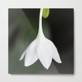 Amazon Lily From Bud To Bloom Metal Print