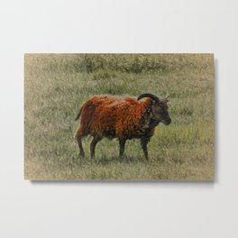 Soay Sheep Metal Print
