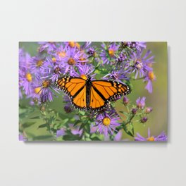 Monarch Butterfly on Wild Aster Flowers Metal Print