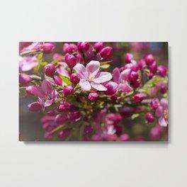 Crabapple Blossoms 15 Metal Print