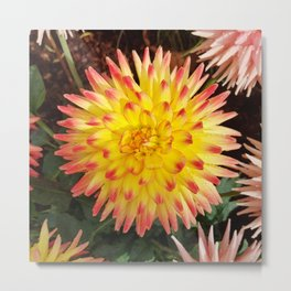 A Yellow Dahlia with Pink tips Metal Print