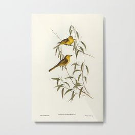 Yellow-tinted Honey-eater (Ptilotis flavescens) illustrated by Elizabeth Gould (1804–1841) for John Metal Print