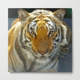 Tiger Face: Up Close and VERY Personal Metal Print