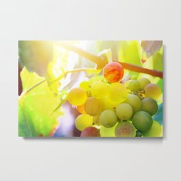 Fresh unripe grapes on vine close-up under sunlight in summer Metal Print