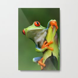 Curious Red-Eyed Tree Frog Metal Print