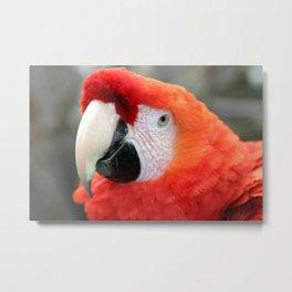 Scarlet Macaw Metal Print