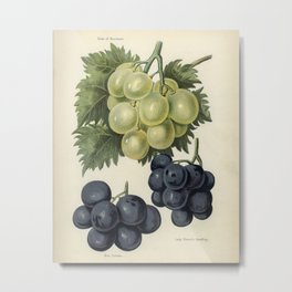 Vintage illustration of grapes  The Fruit Grower's Guide (1891) by John Wright. Metal Print