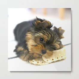Puppy And the First Chewing Bone Yorkshireterrier  Metal Print