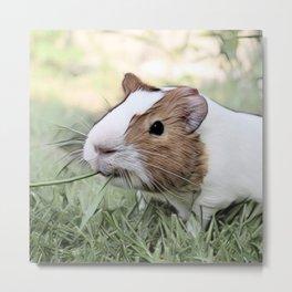 Impressive Animal - Guinea pig Metal Print
