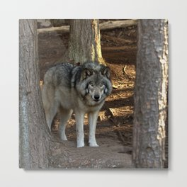 Forest Timber Wolf Metal Print