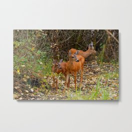A Trio of Blacktail Deer in the Forest Metal Print